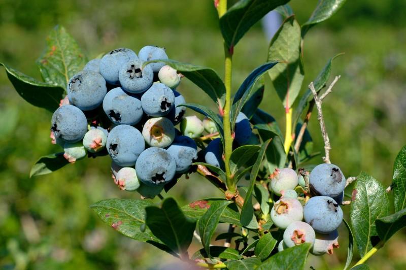 Frozen Blueberry Yogurt Bites :: Quick, sweet little yogurt covered blueberry bites perfect for little hands!